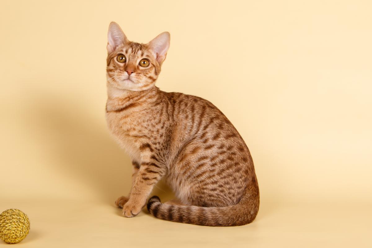 Encyklopedia ras kotów - kot ocicat