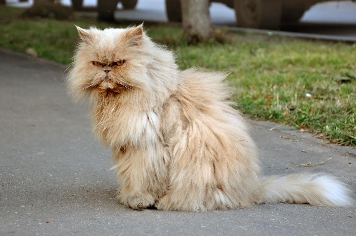 Encyklopedia ras kotów - kot perski