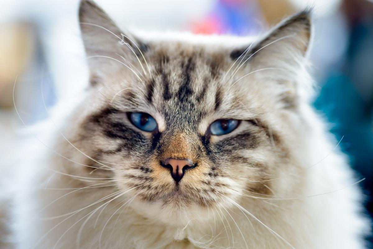 Encyklopedia ras kotów - kot Ragamuffin