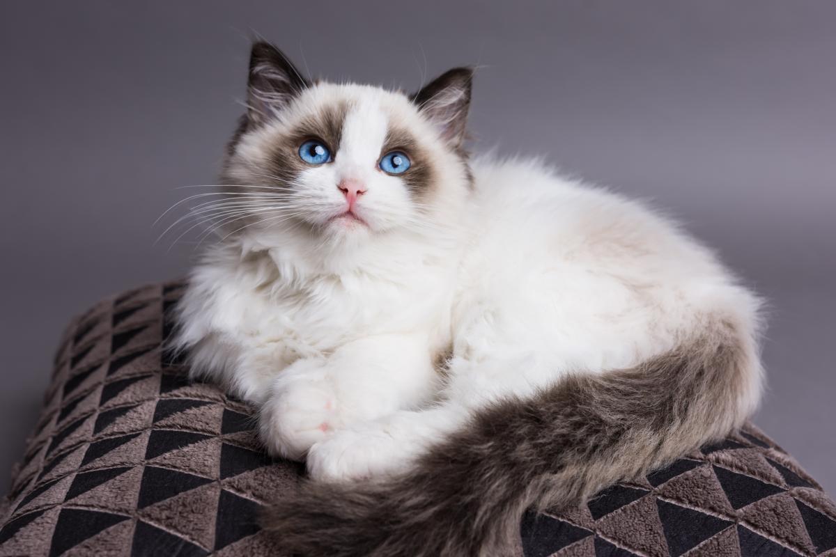 Encyklopedia ras kotów - kot Ragdoll