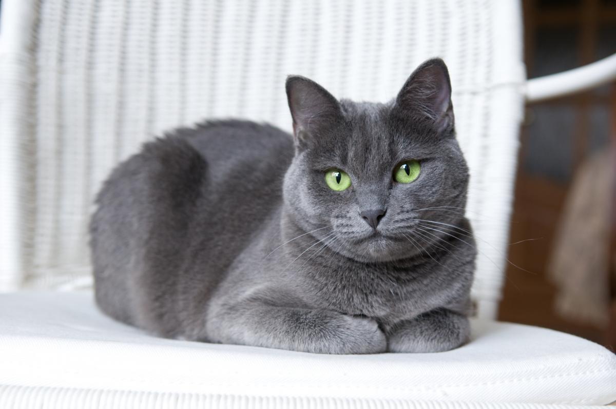 Encyklopedia ras kotów - kot rosyjski niebieski
