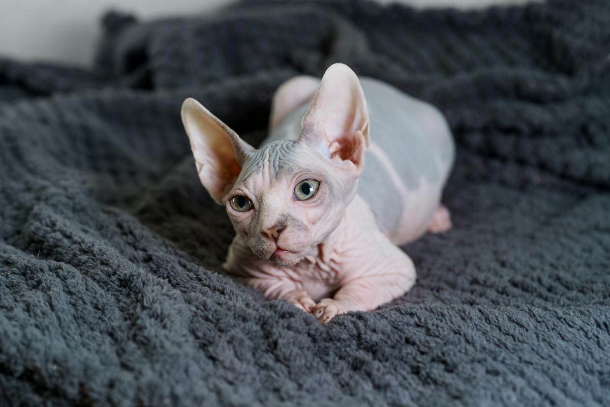 Encyklopedia ras kotów - kot sfinks