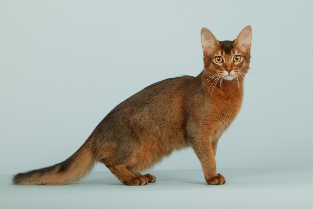 Encyklopedia ras kotów - kot somalijski