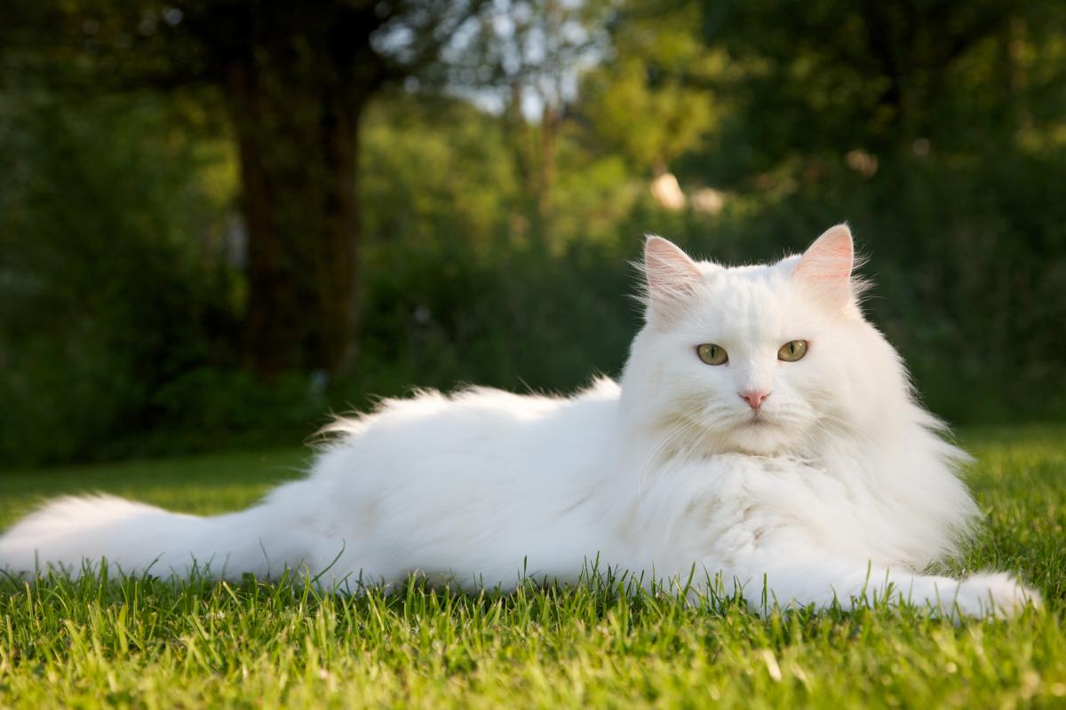 Encyklopedia ras kotów - kot syberyjski