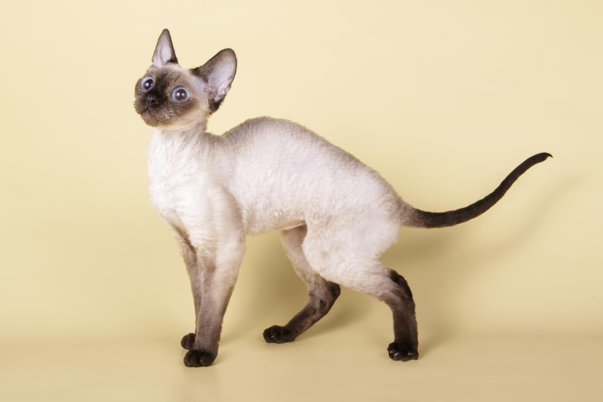 Encyklopedia ras kotów - kot syjamski
