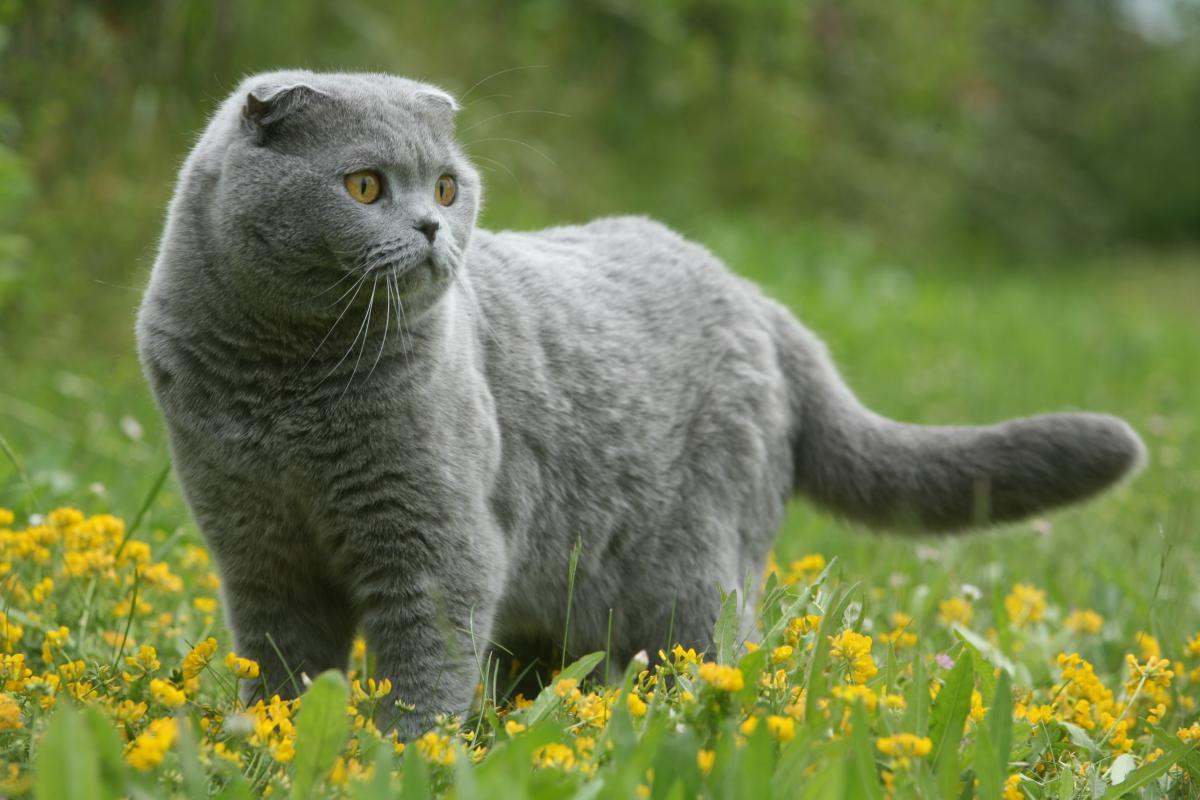 Encyklopedia ras kotów - kot szkocki zwisłouchy