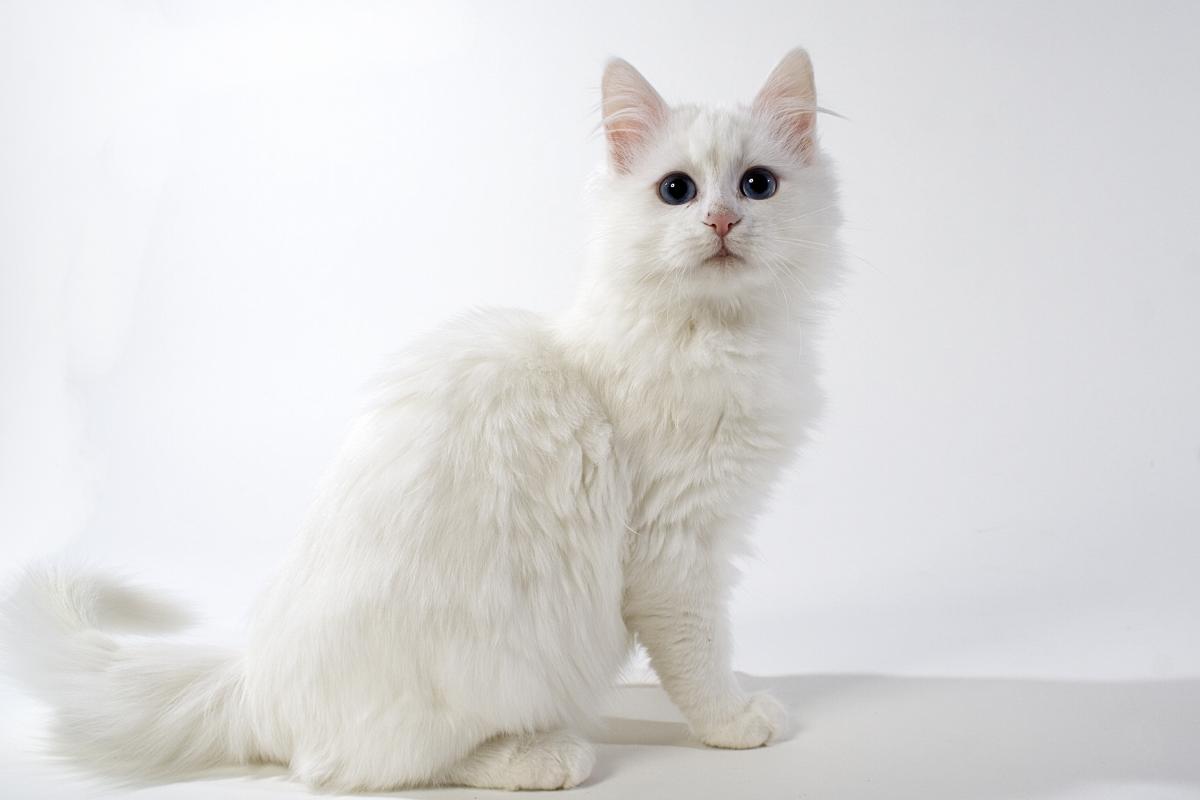 Encyklopedia ras kotów - kot turecki