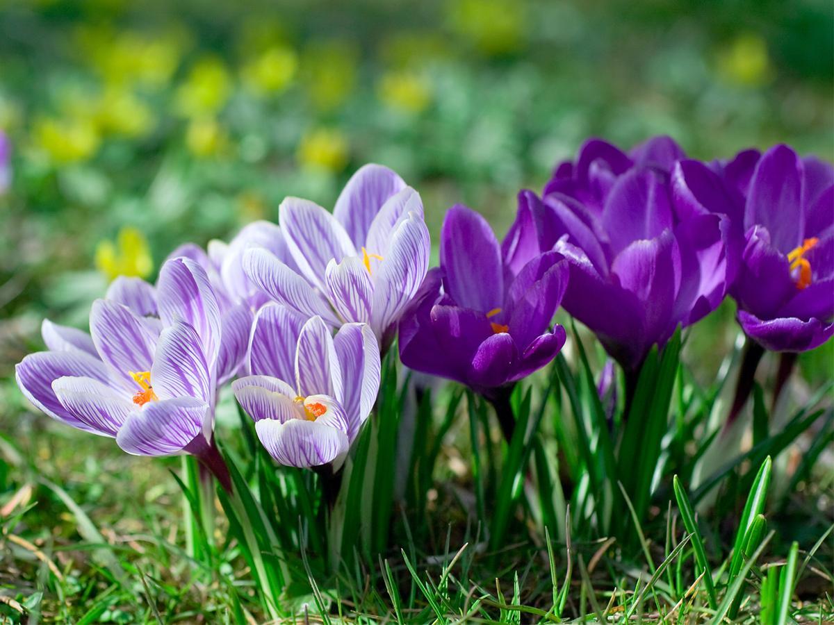 krokus wiosna