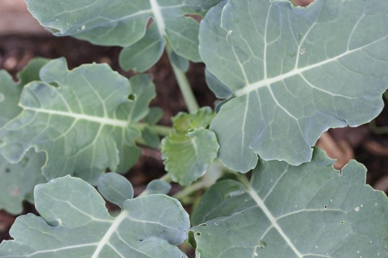 liście brokułu
