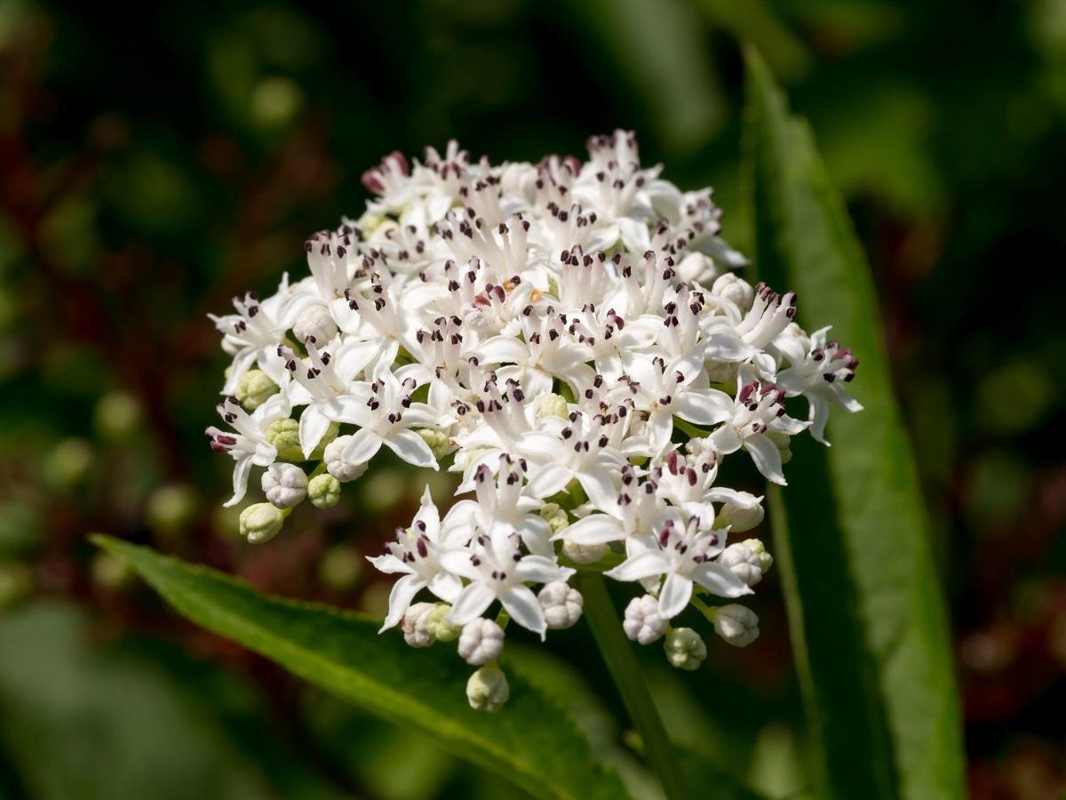 kwiaty bzu hebd trujące