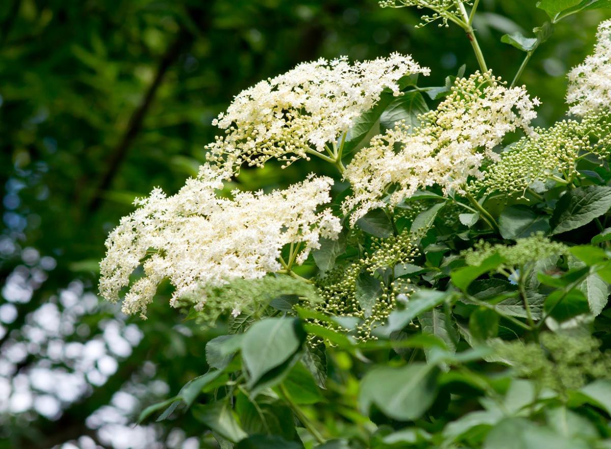 kwiaty czarnego bzu nalewka trująca