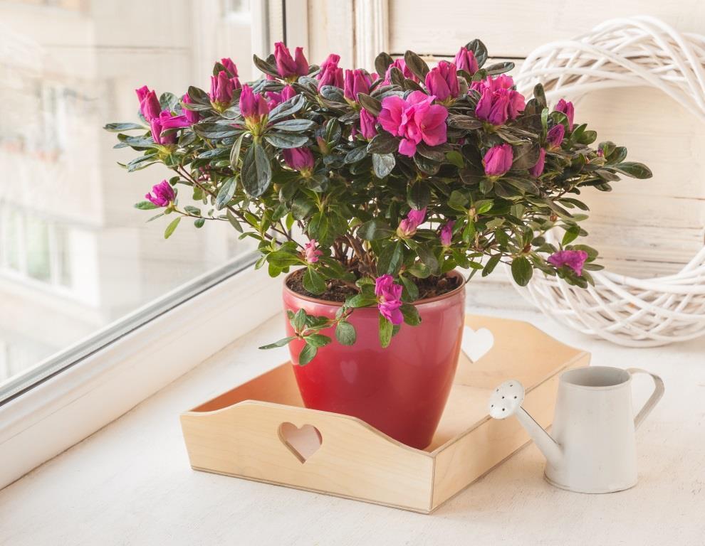 kwiaty doniczkowe kwitnące cały rok - azalia