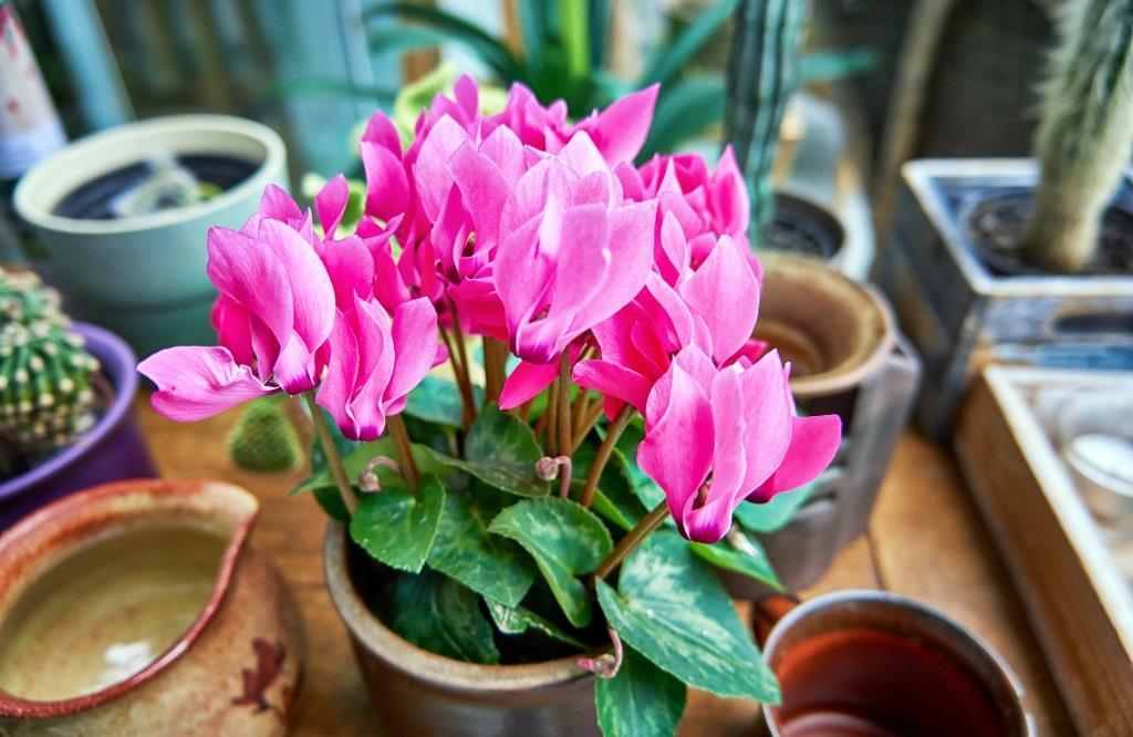 kwiaty kwitnące cały rok: cyklamen