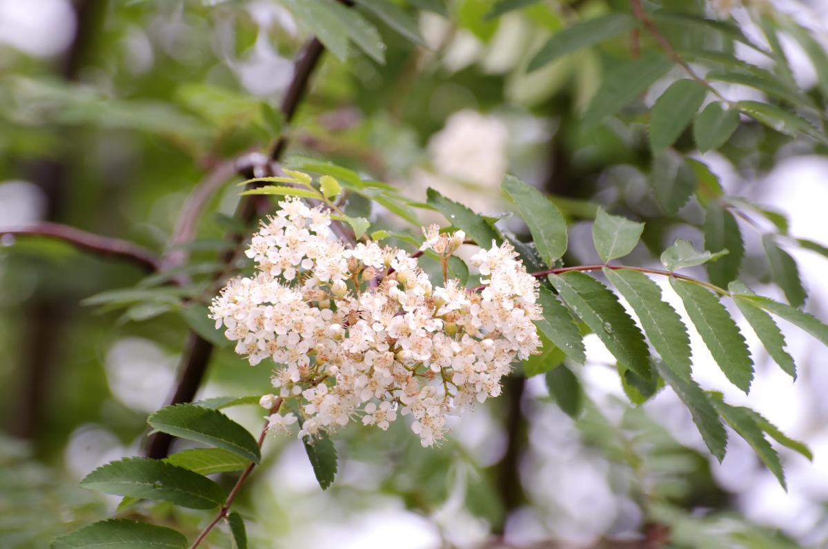 kwiaty jarzębiny