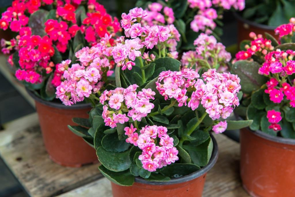 kwiaty doniczkowe kwitnące cały rok: kalanchoe