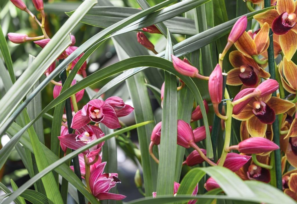 kwiaty doniczkowe kwitnące cały rok: cymbidium