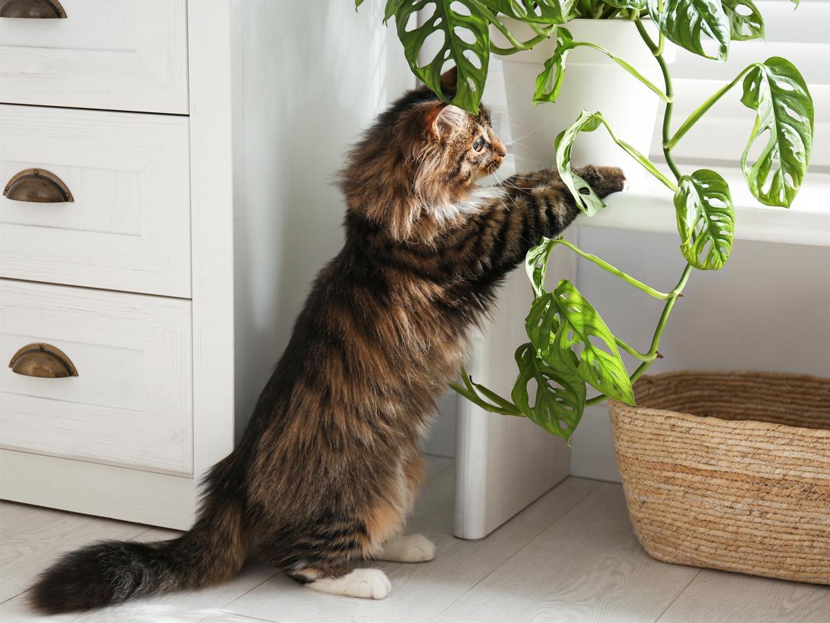 rośliny doniczkowe trujące dla kota
