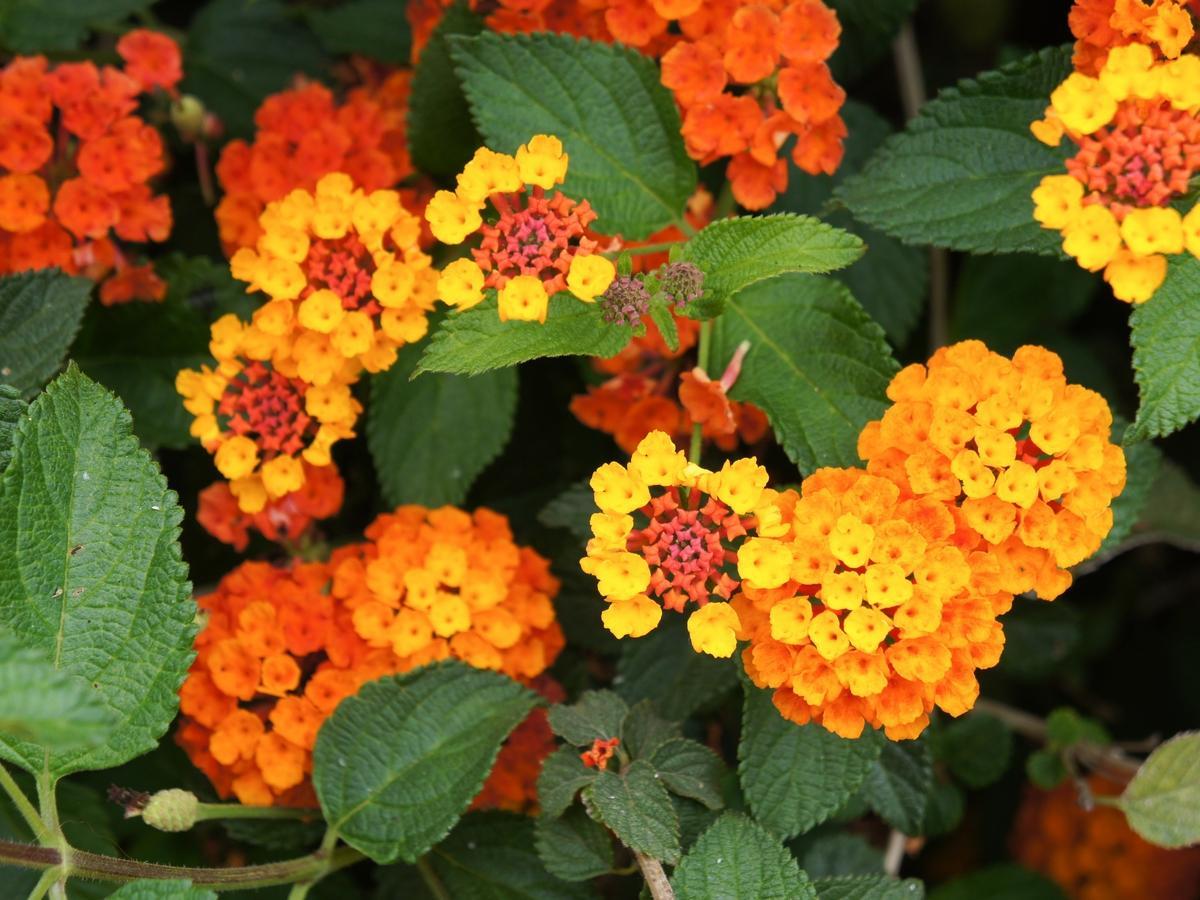 Lantana calippo orange