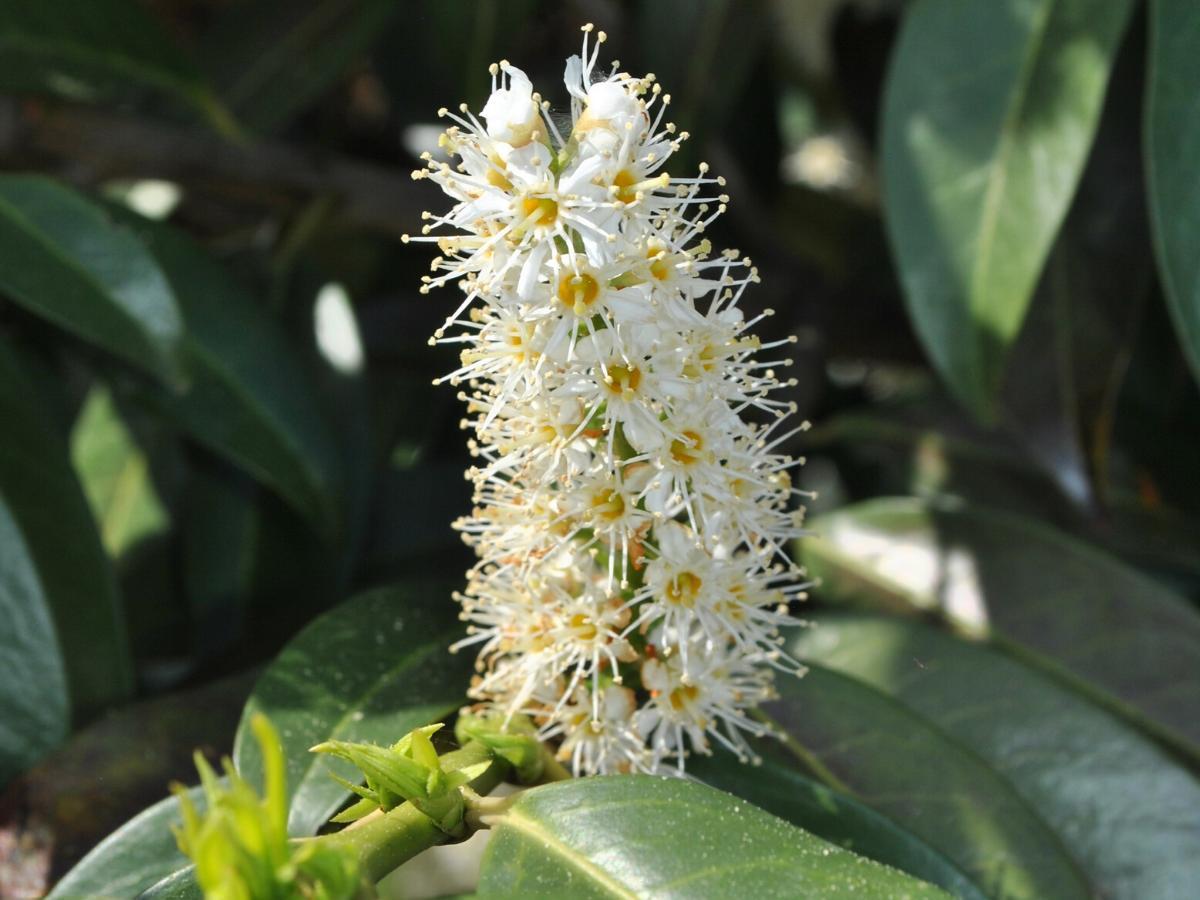 Laurowiśnia zimozielona roślina