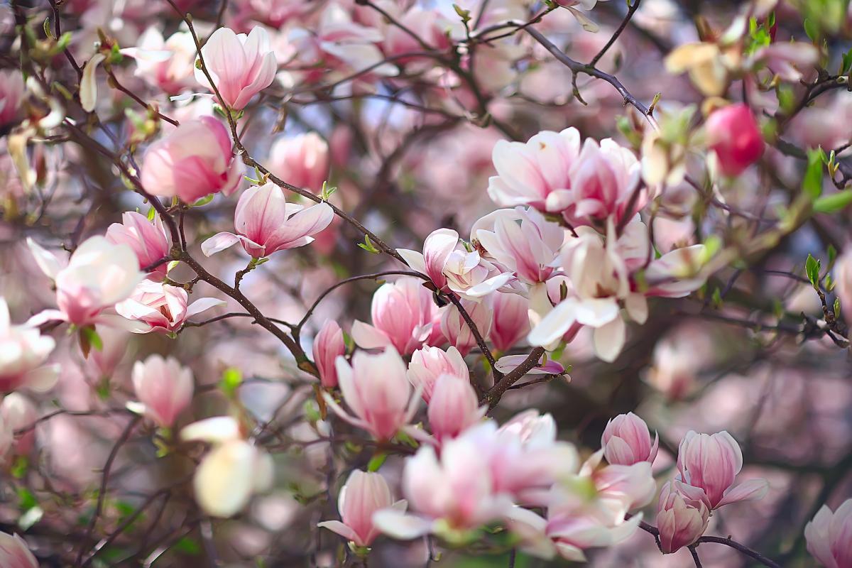 Magnolia - drzewo kwitnące na różowo