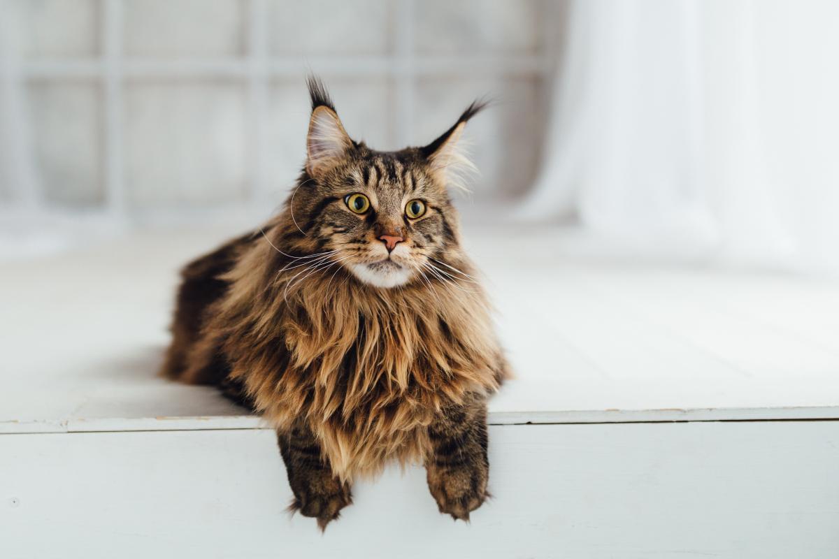 Encyklopedia ras kotów - Maine Coon