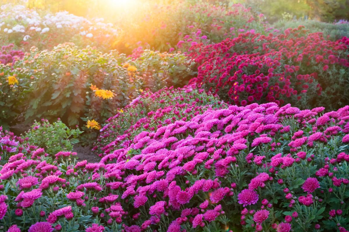 Michałki kwiaty