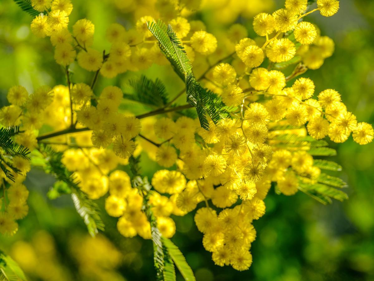 Mimoza - horoskop kwiatowy