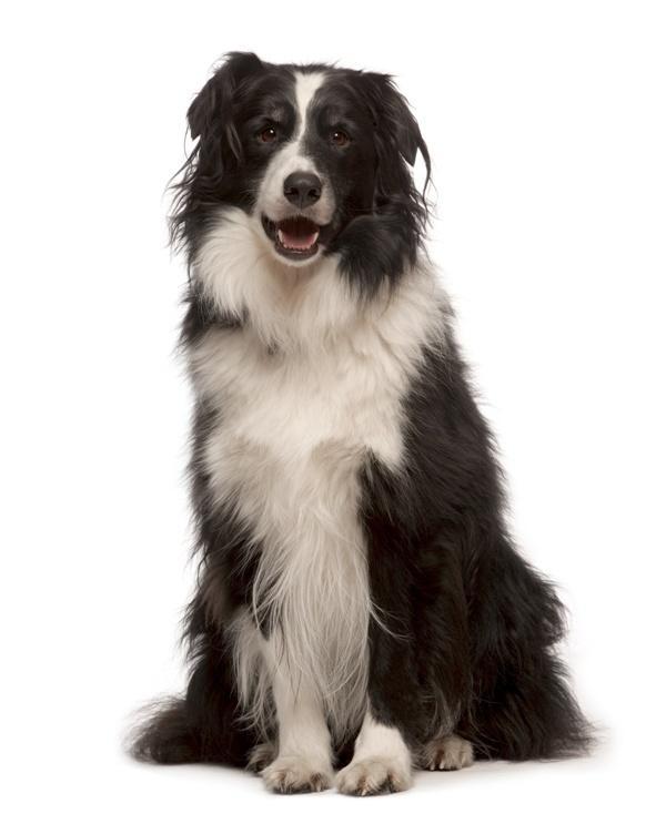 Najinteligentniejsze rasy psów - zobacz ranking! (foto)