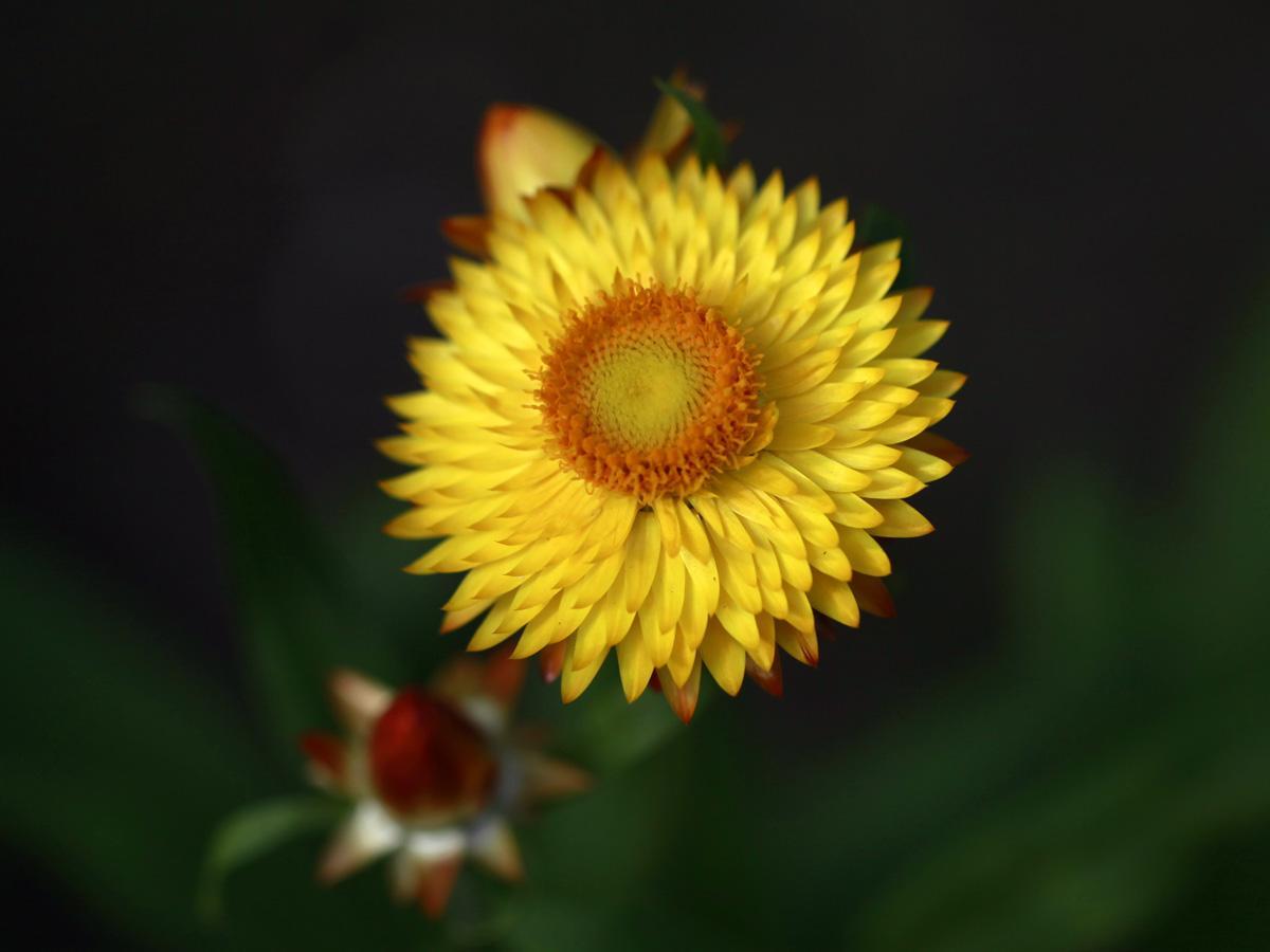 Nieśmiertelnik - horoskop kwiatowy