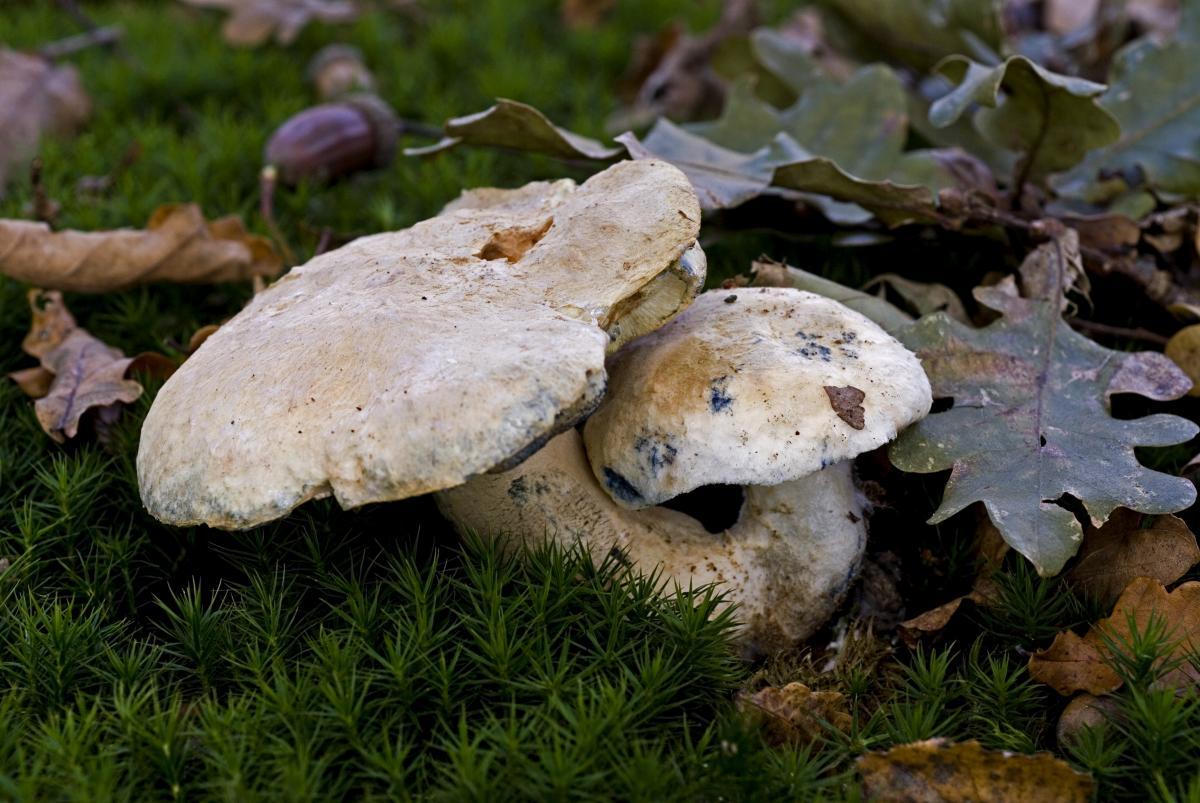 piaskowiec modrzak siniak grzyb