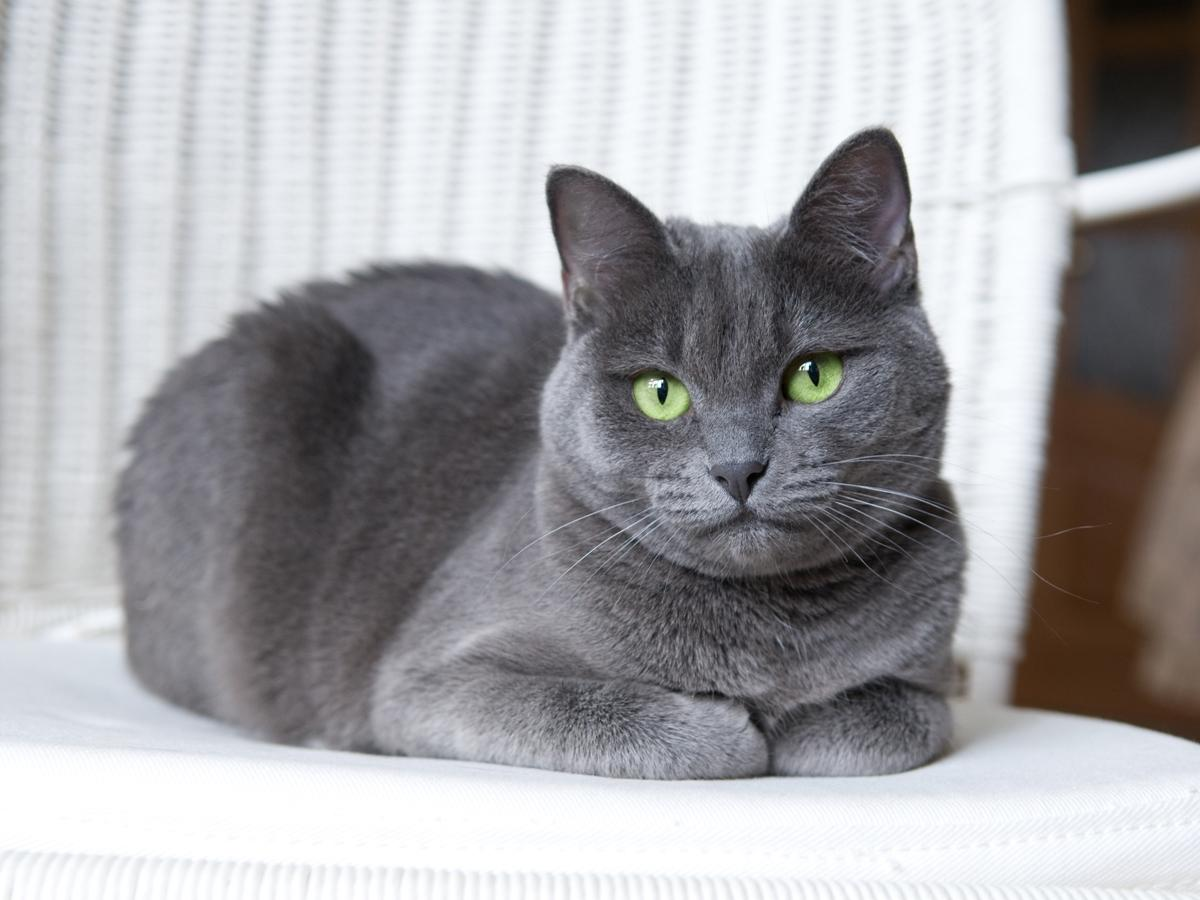 Krótkowłosy Kot Rosyjski Niebieski Koty Krótkowłose Zdjęcia I