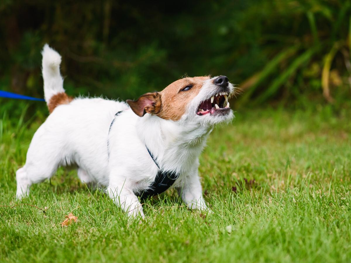 Sennik pies szczekający