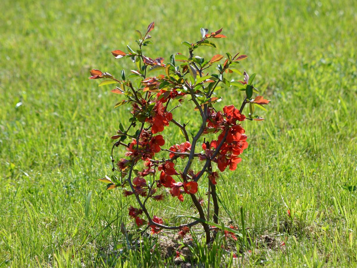 Pigwowiec - wieloletni krzew