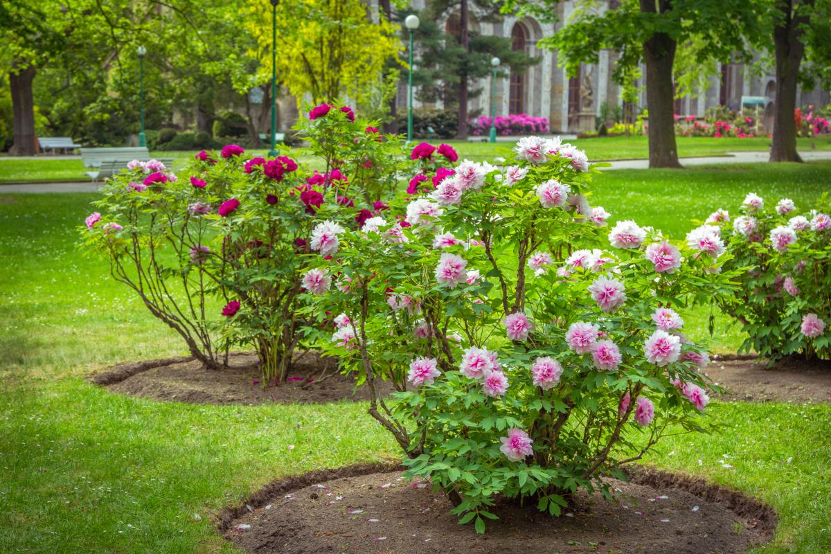 Ciekawe krzewy do ogrodu - piwonia krzewiasta
