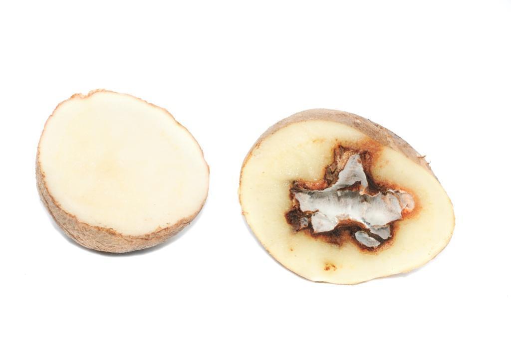 zgniły ziemniak, gnicie, pleśń