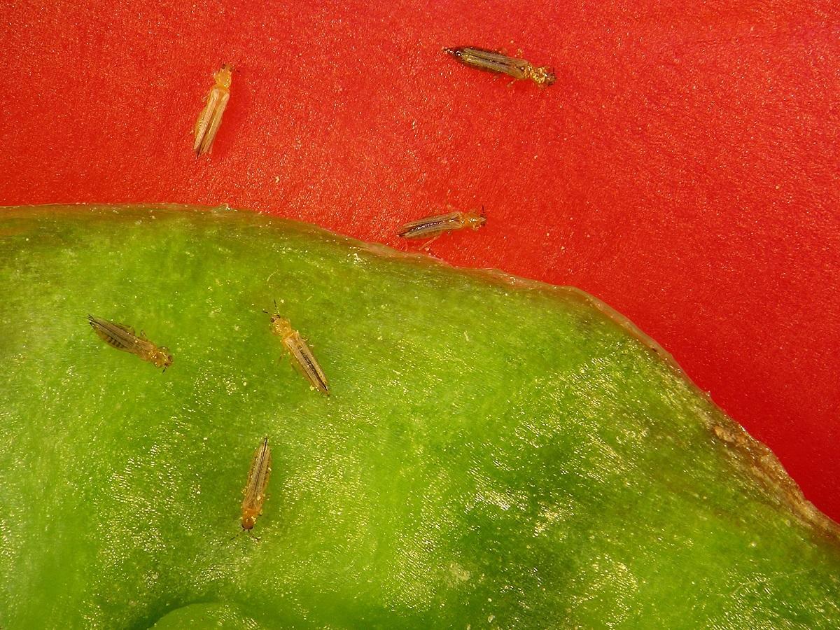 przecinki robaki