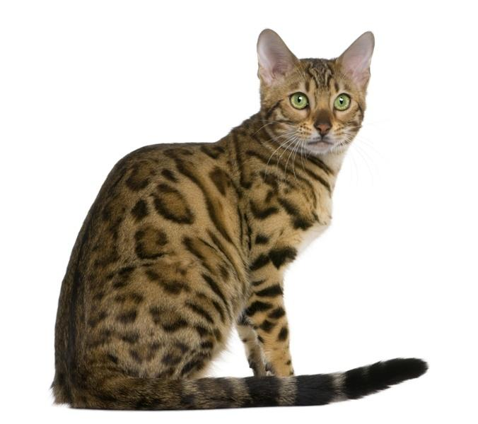 Rasy Kotów O Dzikim Wyglądzie Zwierzęta Polkipl