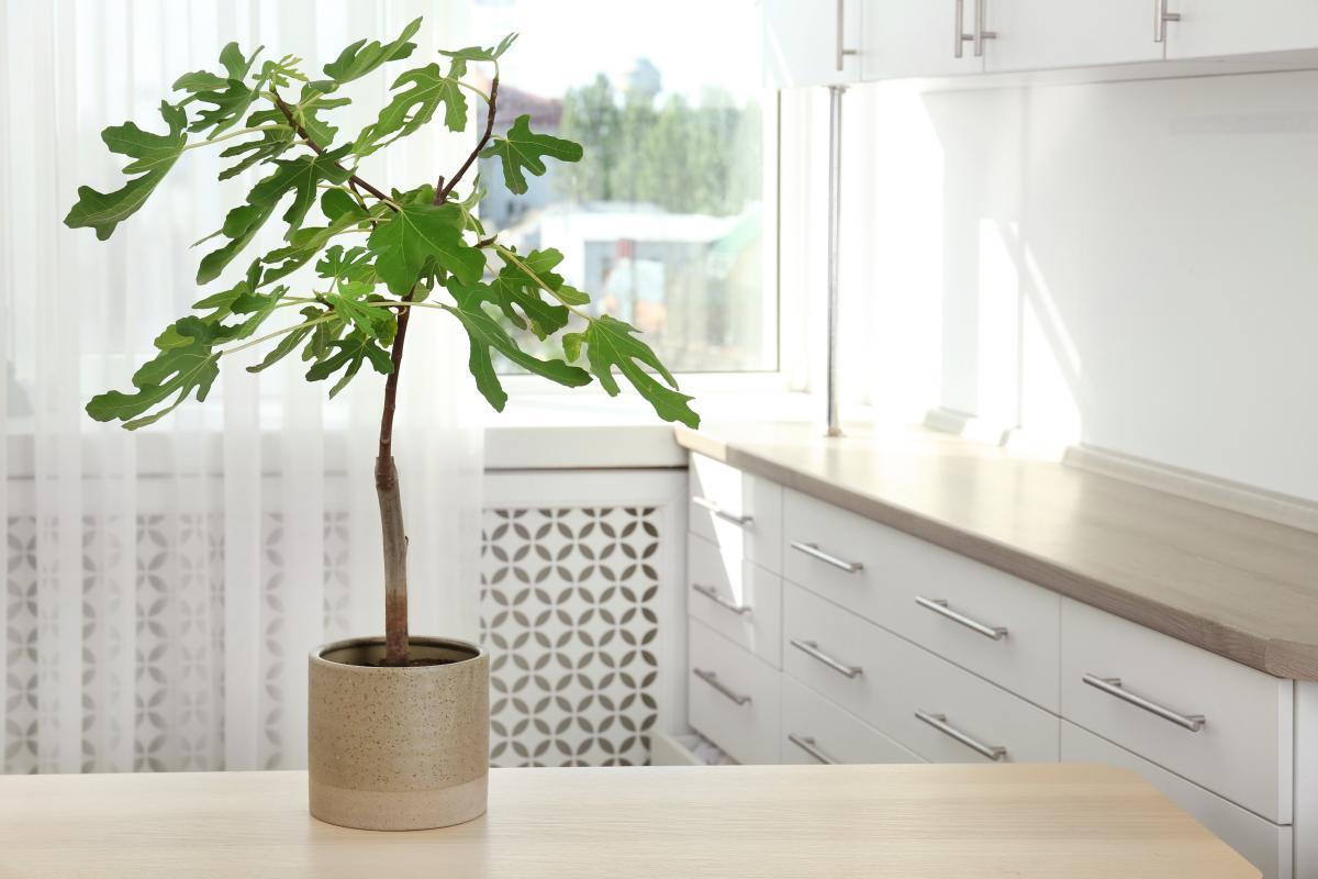 Rośliny doniczkowe zielone - fikus