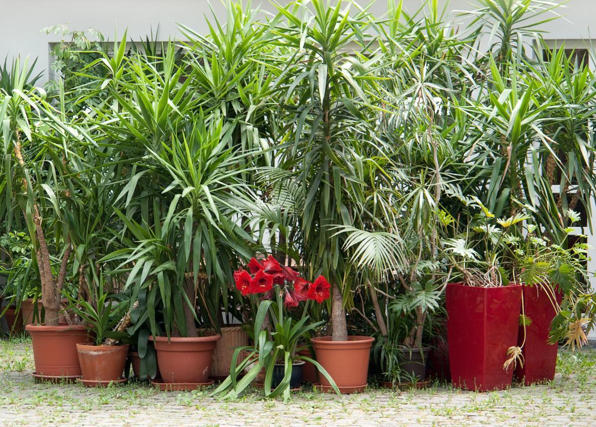 Rośliny doniczkowe zielone - palmy