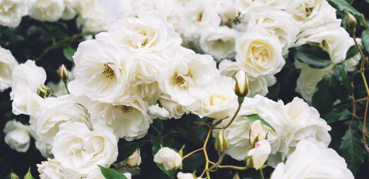 róża pnąca pielęgnacja