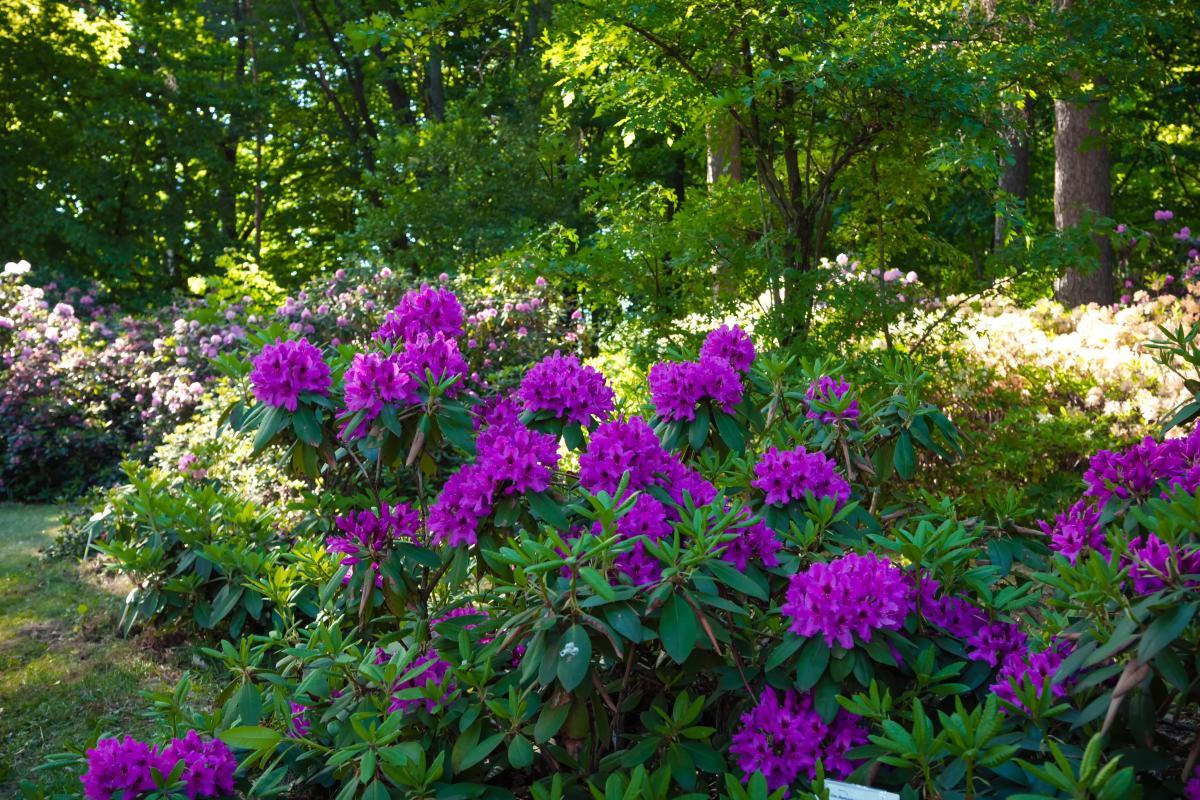 krzew kwitnący całe lato - różanecznik