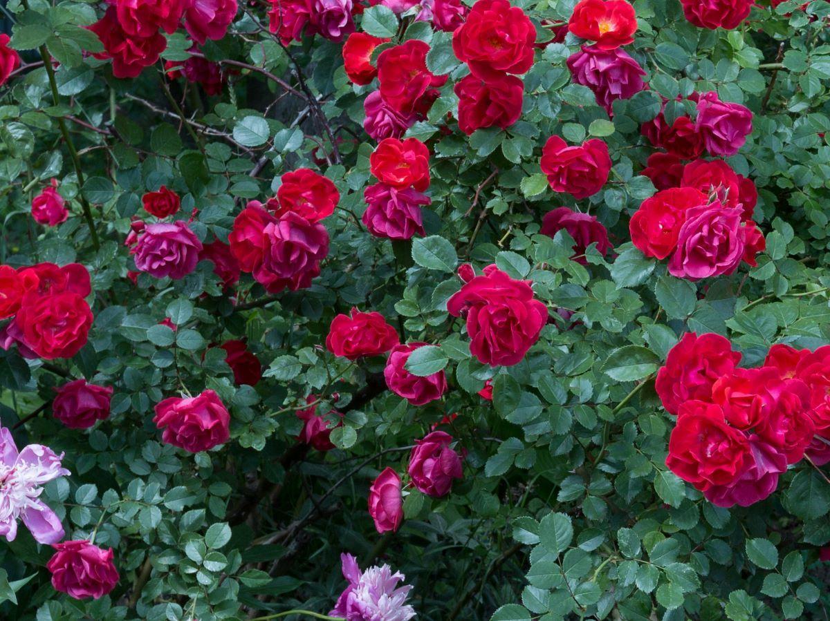 Rozmnażanie róż w ziemniaku