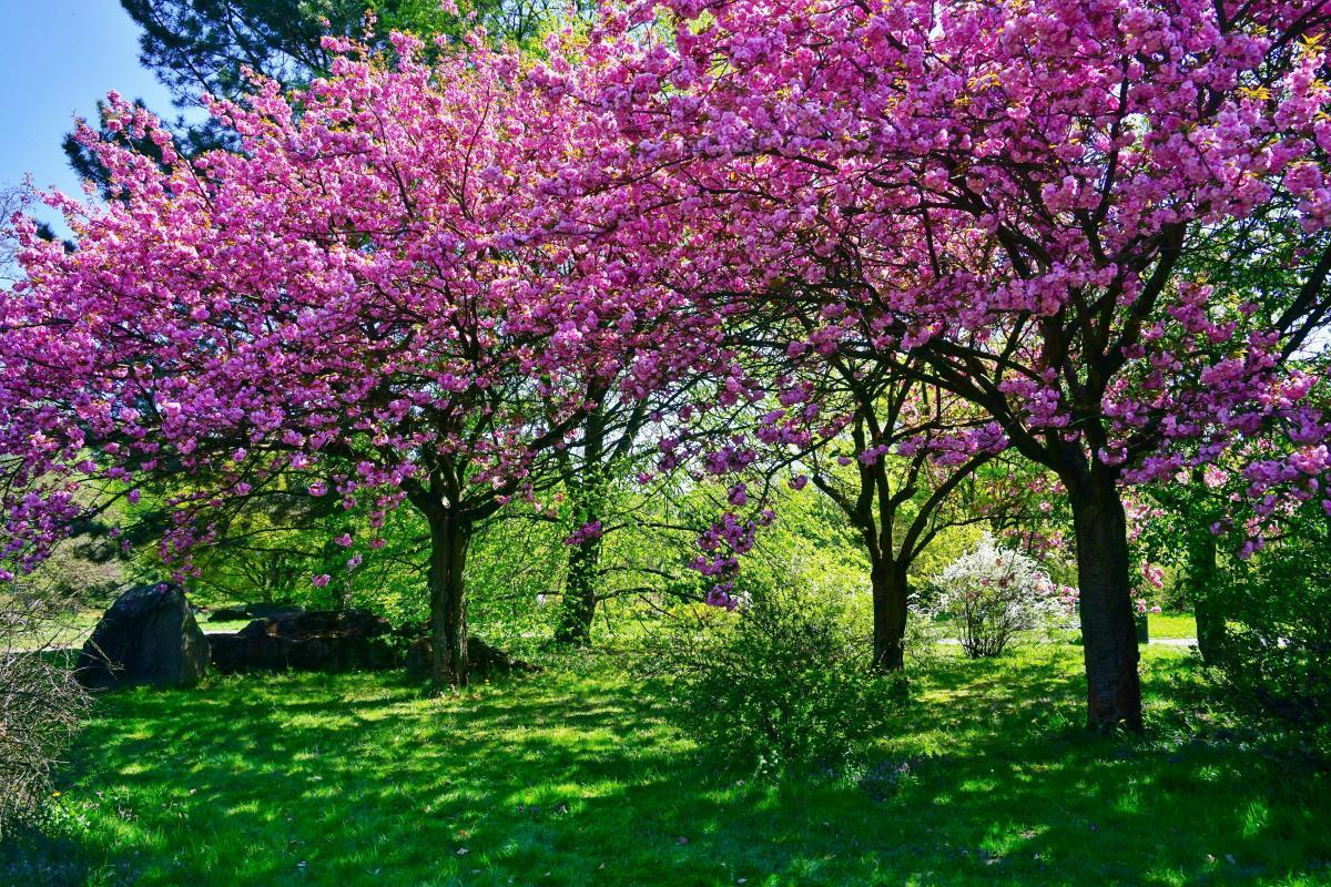 drzewka kwitnące na różowo - wiśnia japońska