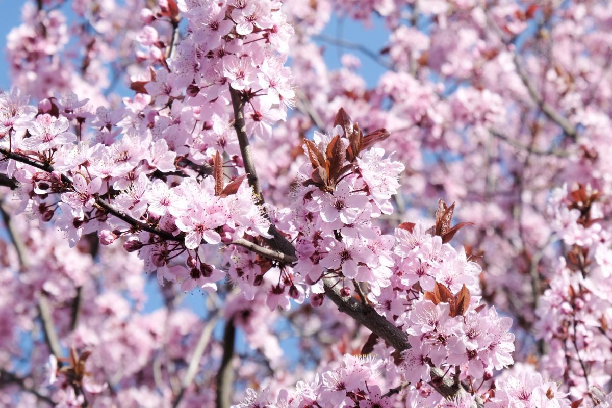 różowe drzewo - wiśnia różowa Fukubana
