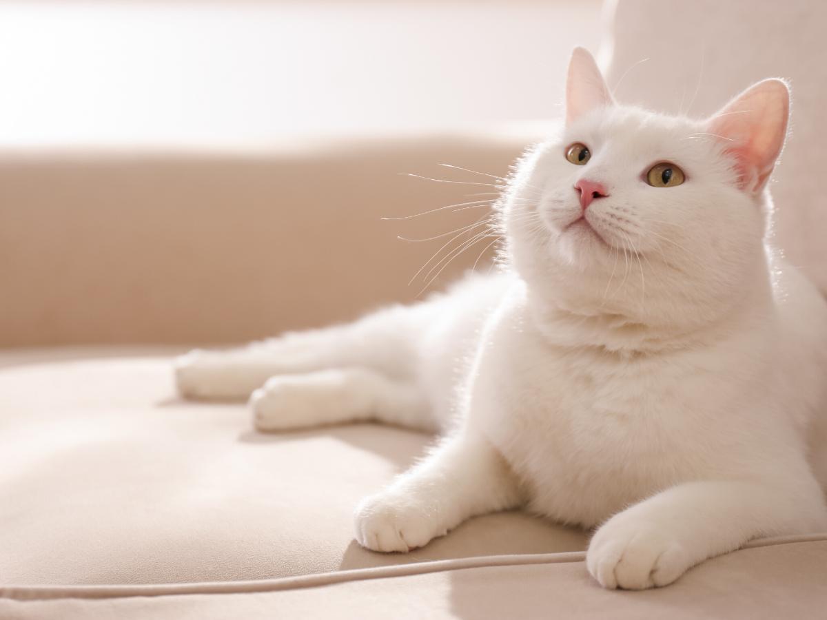 Sennik biały kot