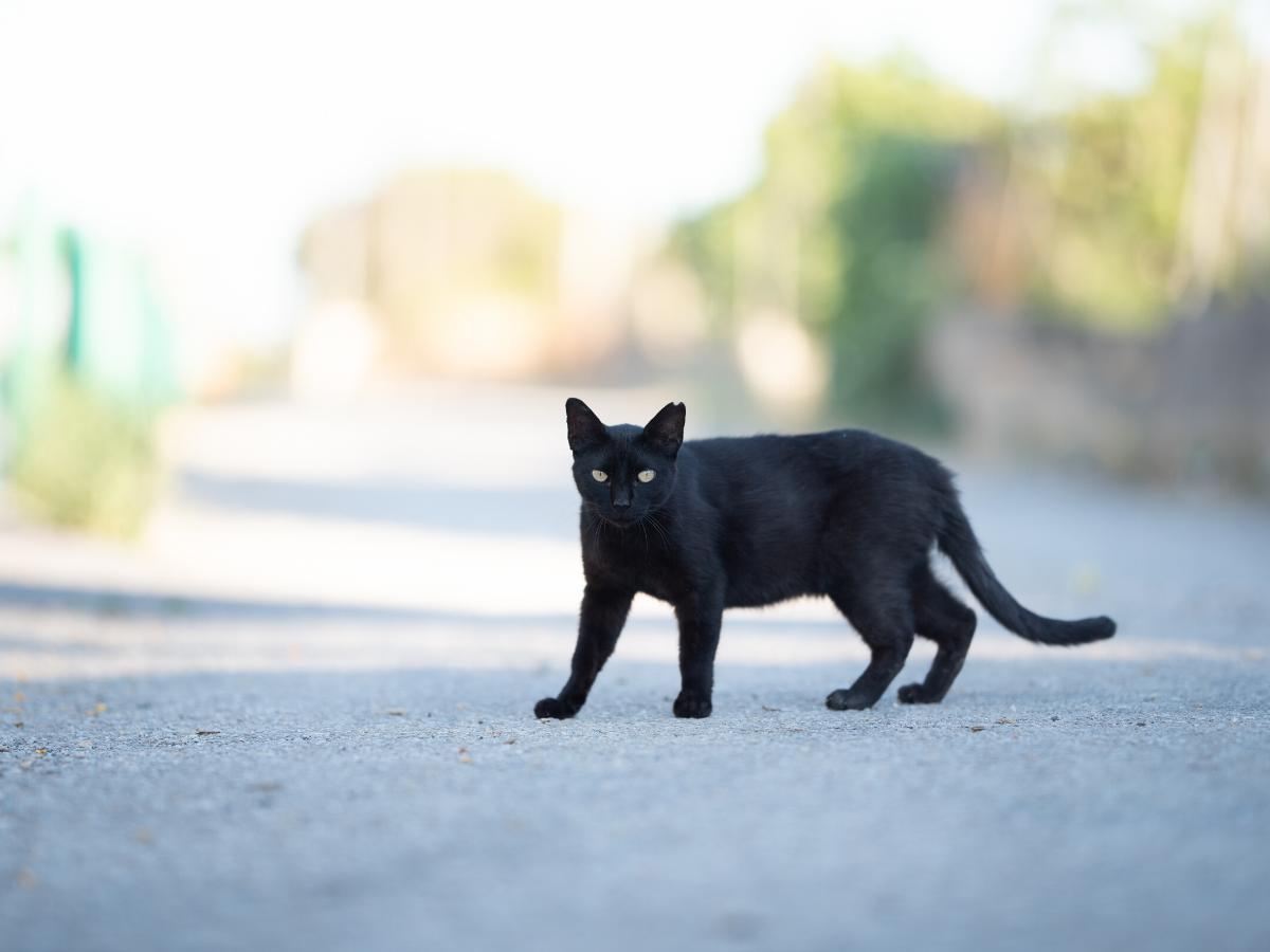 Sennik czarny kot