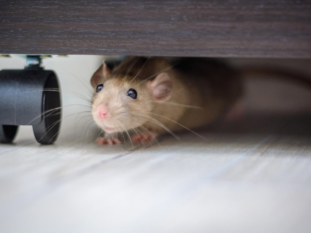 Sennik myszy w domu