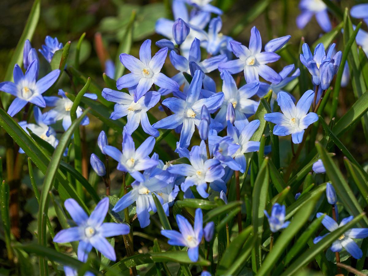 śnieżnik kwiaty
