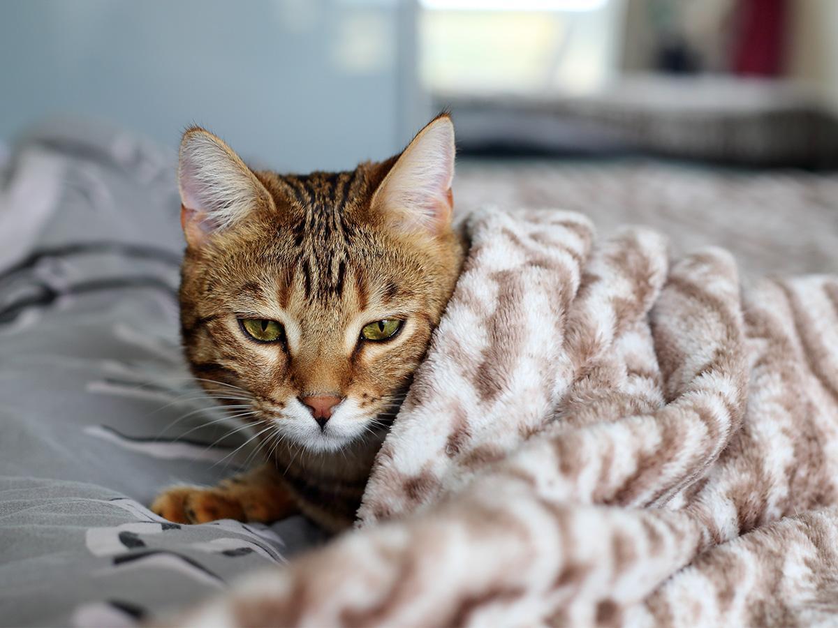świerzb u kota przyczyny