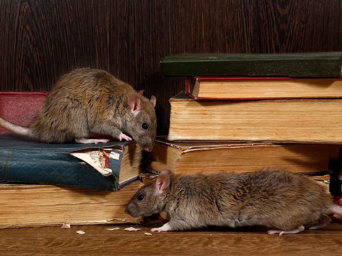 sen o szczurach